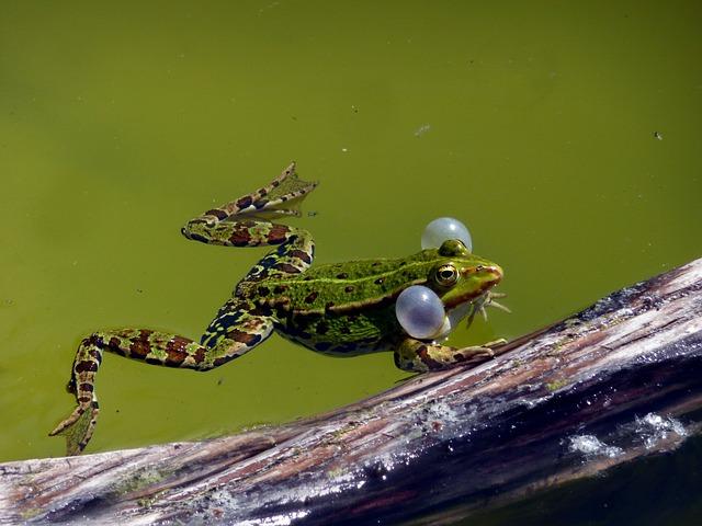 vodní žába